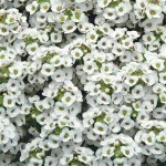Alyssum clear crystal white