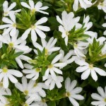 Scaevola White Blessing