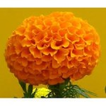 Tagetes Marvel Orange