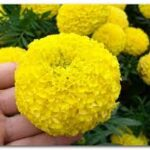 Tagetes Marvel Yellow