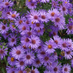 Aster Woods Blue