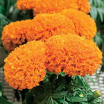Tagetes Moon Song Deep Orange