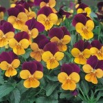 Viola Penny Jump Up Orange